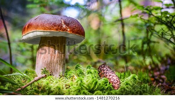 Beautiful boletus edulis mushroom banner in amazing green moss. Old magic forest mushrooms background. White mushroom in sunny day.
