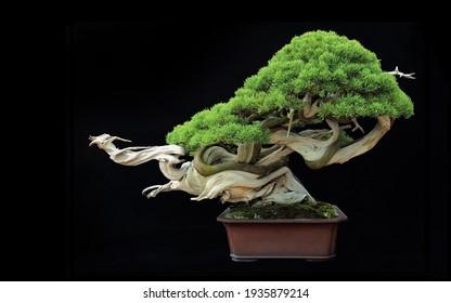 Beautiful Bonsai Tree of Japanese botanical miniature art.
