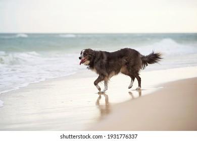 Beautiful border collie dog walking along the ocean shore.