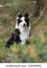 Beautiful border collie at forest