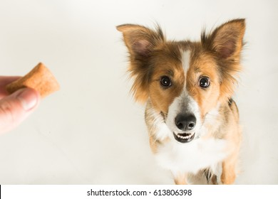 The beautiful Border Collie named Shirley in the studio for her photoshoot