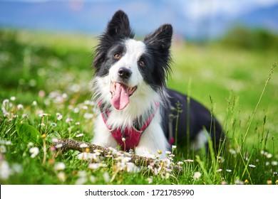 Beautiful Border Collie puppy portrait