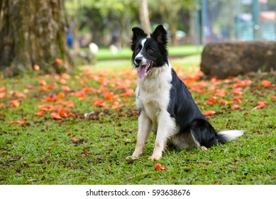 beautiful border collie sitting down on a park on a flower background