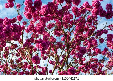 Beautiful bottom view of purple ipe tree on sunny day with blue sky in the background.