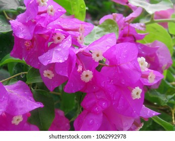 beautiful Bougainvillea flower blooming in vivid color