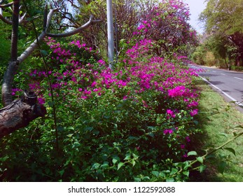 Beautiful Bougainvillea Flower Garden By The Side Of The Road At Pemuteran North Bali