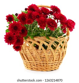 Beautiful bouquet of chrysanthemum flowers in basket isolated on white
