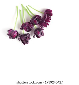 beautiful bouquet of dark purple tulips on a white background. flat lay, copy space.