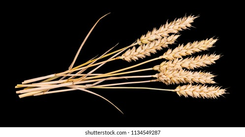 Beautiful bouquet of dry wheat ears. Triticum aestivum. Close-up of the group of decorative ripened cereal spikes. Idea of farming, agronomy or gluten allergy. Isolated on black background.
