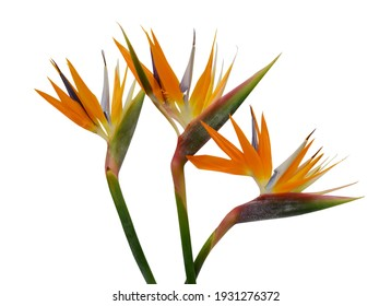 beautiful bouquet of flowers bird of paradise on a white background
