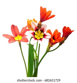 Beautiful bouquet of flowers Ixia isolated on white background. Flowerbeds, garden
