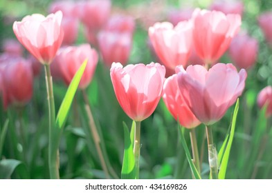 Beautiful bouquet of pink Tulips in Spring Flora