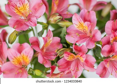 Beautiful bouquet of red alstroemeria flowers on a white background close-up