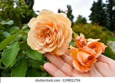 Beautiful bouquet of roses in hand