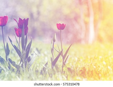 A beautiful bouquet of tulips is a bulbous spring-flowering plant of the family of lilies, with bold colored cup-shaped flowers.