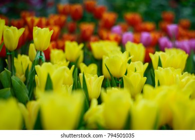 Beautiful bouquet of tulips. colorful in garden in selective focus.