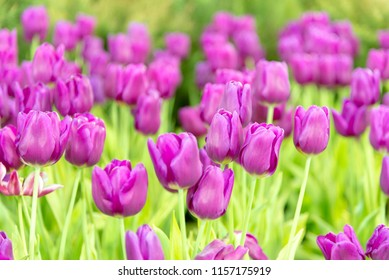 Beautiful bouquet of tulips in the garden , nature background.
