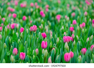 Beautiful bouquet of tulips nature background. Agricultural greenhouse with flowers. Spring landscape. Red, yellow, white blossoms