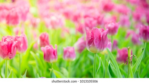 Beautiful bouquet tulips in spring at the garden,Nature background.