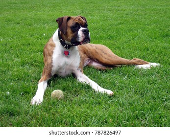 Beautiful boxer laying down in grass