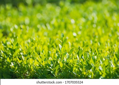 Beautiful boxwood twigs after  the rain on blurred greenery background in sunny day.