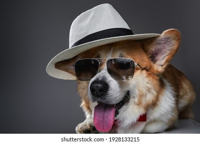 Beautiful boy corgi wearing sunglasses, summer hat, butterfly laying down and staring at camera on gray background.