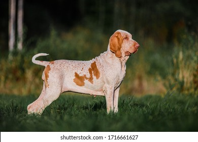 Beautiful Bracco Italiano pointer hunting dog standing in grass fowling, summer evening