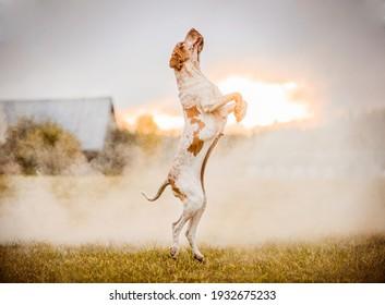 Beautiful Bracco Italiano pointer jumping on field in smoke at sunset landscape