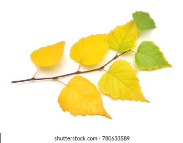 Beautiful branch with autumn yellow leaves of birch isolated on a white background. Flat lay, top view