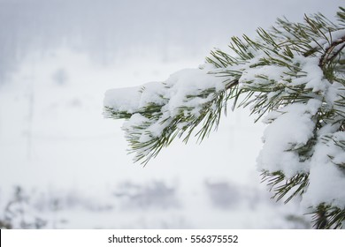 beautiful branch covered with snow