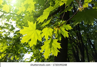 Beautiful branch with fresh green leaves of maple tree lit by sun
