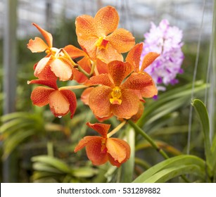 Beautiful branch of orange flowers of orchids. Orchid Garden Thailand Phuket