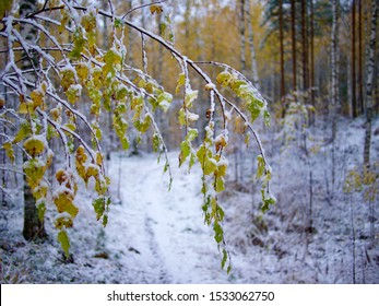Beautiful branch with orange and yellow leaves in late fall or early winter under the snow in Finland.