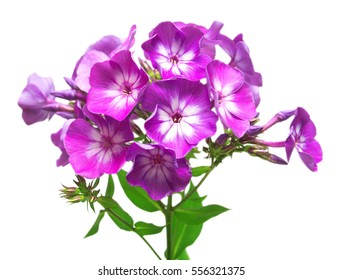 Beautiful branch of phlox flowers with leafs isolated on white background. Flower