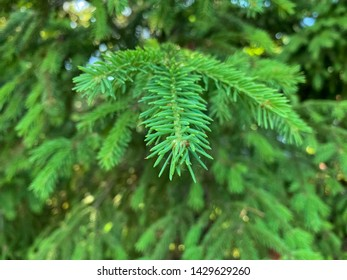 "Beautiful branch of a pine, macro view, public park ""Aurora"", Russia"