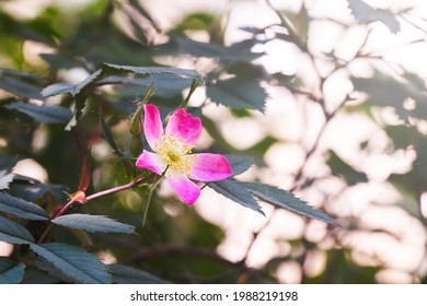beautiful branch with pink flowers Rosa glauca
