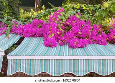 Beautiful branches of blooming pink bougainvillea fall on a marquise canopy.