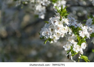 Beautiful branches with blossom in early spring.