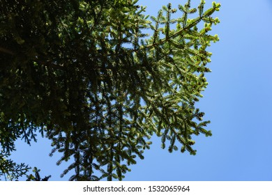 Beautiful branches of Numidian fir (Abies numidica) or Algerian fir on blue sky background  in Pertenit in Crimea. Selective focus