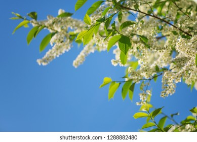 Beautiful branches of white bird cherry flowers against background of blue sky
