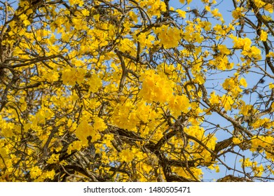 beautiful Brazilian Yellow Ipe tree flowers (Golden trumpet) with blue sky - Handroanthus chrysotrichus plant