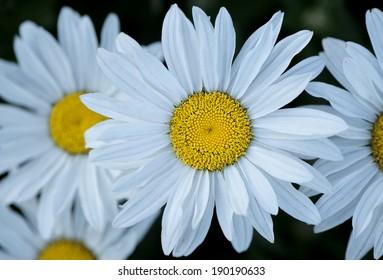 Beautiful bright Daisy�