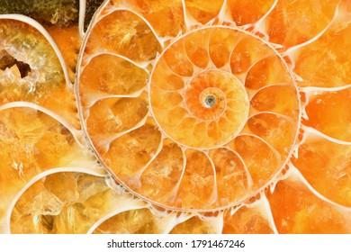 Beautiful bright amber-colored ammonite shell. Ancient fossil in macro close up. Fibonacci spiral.