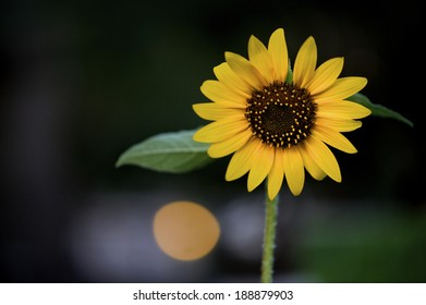 Beautiful bright Black-Eyed Susan