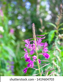 Beautiful bright blooming pink purple flower plant rosebay willowherb fireweed Chamerion angustifolium. Wildflower on natural green and blue sky background. Closeup selective soft focus. Text space.