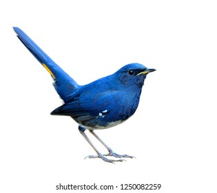 Beautiful bright blue bird with yellow mark on its high wagging tail in happy moment isolated on white background in new details edited, White-bellied Redstart (Hodgsonius phaenicuroides)