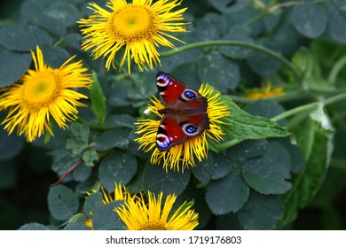 Beautiful bright butterfly cabbage sits on bright yellow flowers.