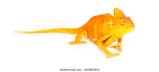 Beautiful bright chameleon in neon colors isolated on white background. Multicolor yellow coral beautiful reptile chameleon with bright skin. The concept of disguise and bright skins. Tropical animal.