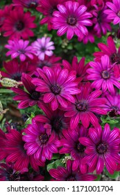 Beautiful bright cluster of colorful pink or fuchsia daisies in a garden as a background