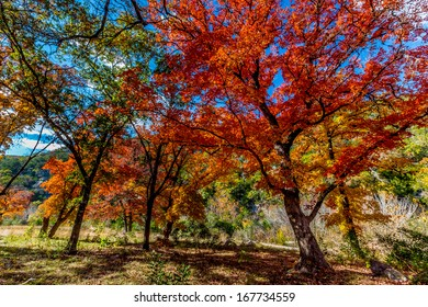 Beautiful Bright Colors of Fall Foliage at Lost Maples State Park, Texas